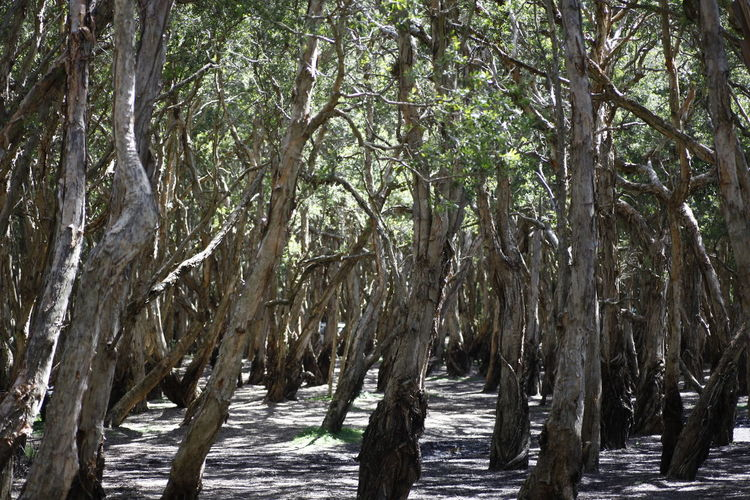 Eucalyptus tree forest, Port Stephens, NSW, Australia Australia Australian Native Tree Beauty In Nature Branch Day Environment Eucalyptus Eucalyptus Tree Forest Growth Land Nature No People Non-urban Scene Outdoors Plant Scenics - Nature Sunlight Tranquility Tree Tree Trunk Trunk Water