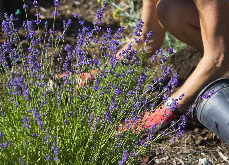 Patting the Soil Gardener Planting Plants Flowers Garden Garden Gloves Lavender Lavender Flowers Mulch Outdooor Pink Color Purple Waterwise Garden Xeriscape Xeriscapic Garden