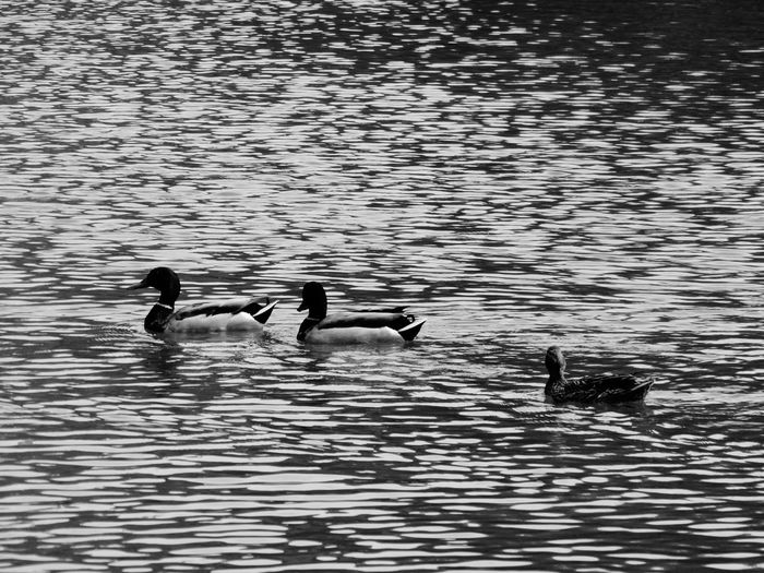 Bird Animals In The Wild Water Animal Wildlife Two Animals Lake Swimming Animal Themes Nature Waterfront Duck No People Outdoors Day Beauty In Nature Spread Wings Paris ❤ Ducks At The Lake Ducks Buttes Chaumont Beauty In Nature Animals In The Wild Swimming Black And White Friday