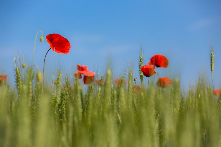Close-up of red poppy blooming on field against clear sky