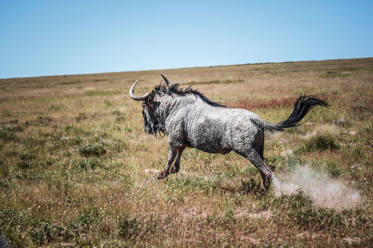 Side view of wildebeest running in grassy field against clear sky at forest