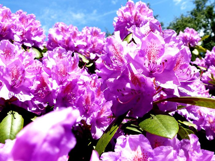 Flower Flowering Plant Freshness Plant Beauty In Nature Pink Color Growth Fragility Vulnerability  Blossom Springtime Close-up Purple No People Flower Head Rhododendron Petal Selective Focus Outdoors Inflorescence Nature EyeEm Nature Lover EyeEm Best Shots - Nature Garden Violet Flowers