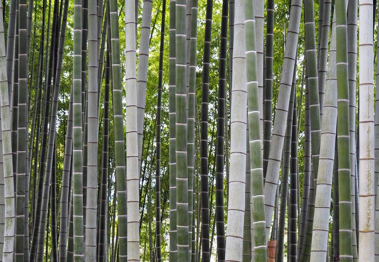 Full Length Of Bamboo Grove
