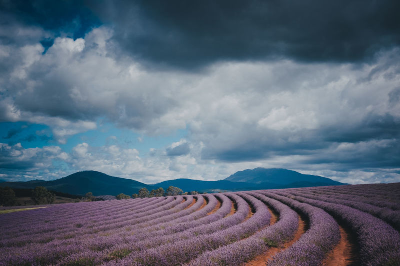 Australia Bridestowe Lavender Estate Beauty In Nature Cloud - Sky Day Field Landscape Lavendar Mountain Range Nature Outdoors Scenics Sky Tasmania