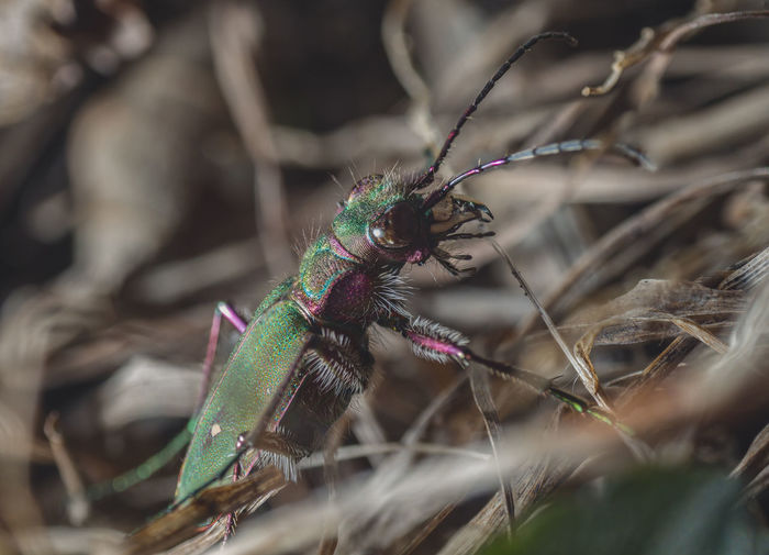 Cicindela campestris Green Color Plant Part Field Animal Body Part Growth Zoology Outdoors Day No People Nature Insect Close-up Invertebrate Selective Focus Plant Animal Themes One Animal Animal Wildlife Animals In The Wild Animal Cicindela Campestris