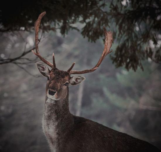 close Deer King