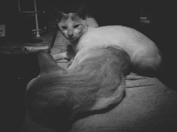 Pets Cats Simple Photography 5mpcamera Blackandwhite Samsungphotography