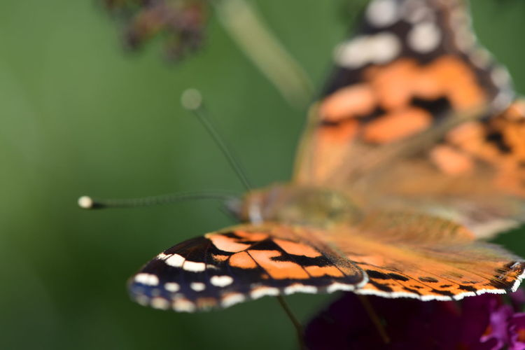 Im Garten Butterfly - Insect Invertebrate Insect Close-up One Animal Animal Themes Animal Wildlife Animals In The Wild Animal Wing Animal Beauty In Nature Selective Focus Nature No People Plant Leaf Focus On Foreground Plant Part Flower Day Butterfly Leaves