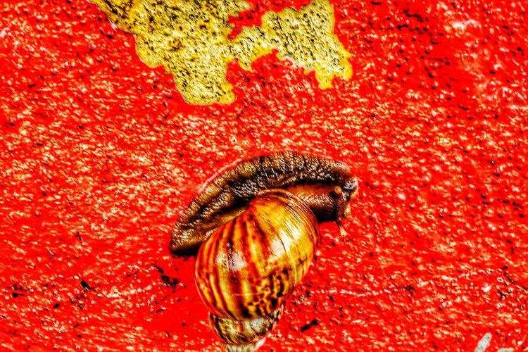 Siput Babi (Pig Snail) sliming his way across a red painted wall. Siput Babi Animal Themes Red Animals In The Wild No People One Animal Close-up Animal Wildlife Nature Outdoors Pig Snail Nawfal Johnson Beauty In Nature Red