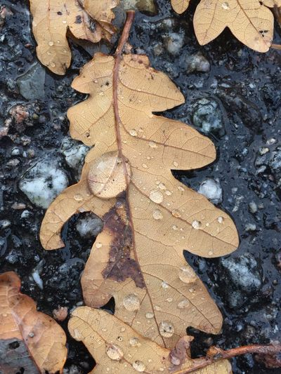 High angle view of maple leaf on wet leaves