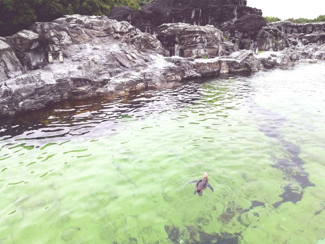 Water Outdoors High Angle View Nature Swimming Day Animal Themes Animals In The Wild Animal Wildlife Lake Reptile No People Beauty In Nature Alligator Sea Life Bird Fishes Nature Beauty In Nature Outdoor Photography Arts Culture And Entertainment Parks Pengiun Birds Bird Photography