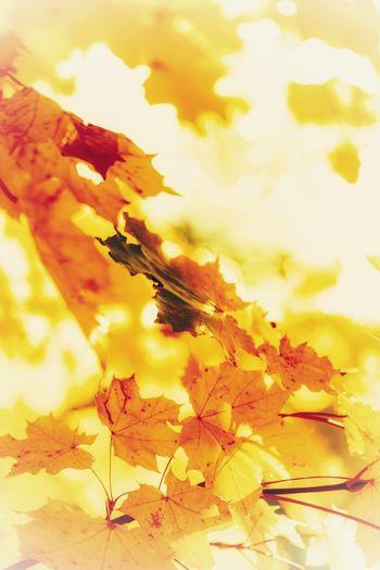 Golden EyeEm Best Shots - Nature EyeEm EyeEm Nature Lover Letzten Sonnenstrahlen Fall Autumn Mood Baum Herbstlich Herbstlaub Herbsttage Herbstblätter Herbst-Impressionen 🍁 Herbst In Seinen Schönsten Farben Herbststimmung Herbst🍁 Goldener Oktober Goldener Herbst Impression Yellow No People Plant Close-up Nature Beauty In Nature Backgrounds Change Autumn Leaf Still Life