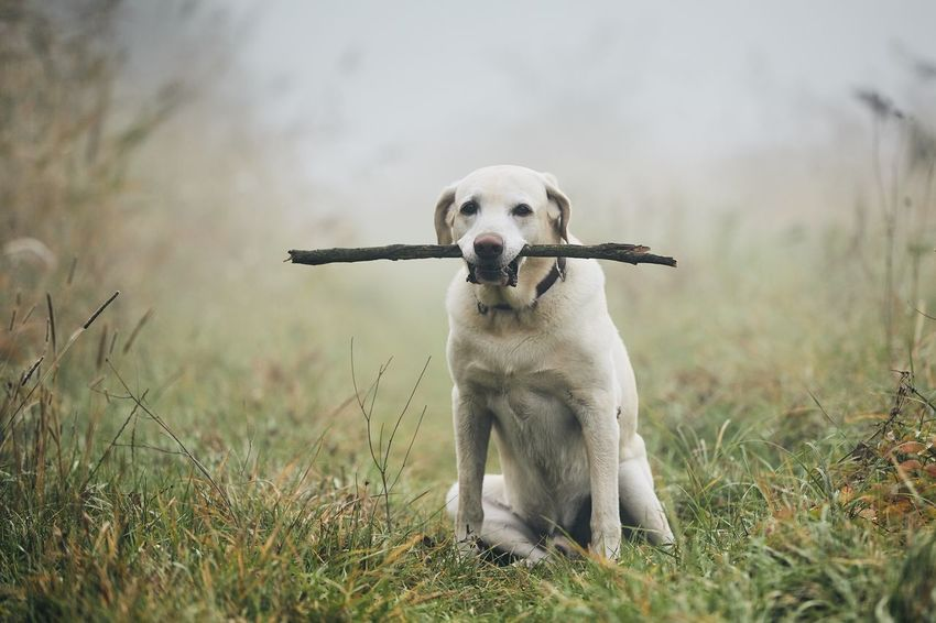 a4fe2c372 Dog in autumn fog. Portrait of labrador retriever carrying stick in mouth  while sitting on