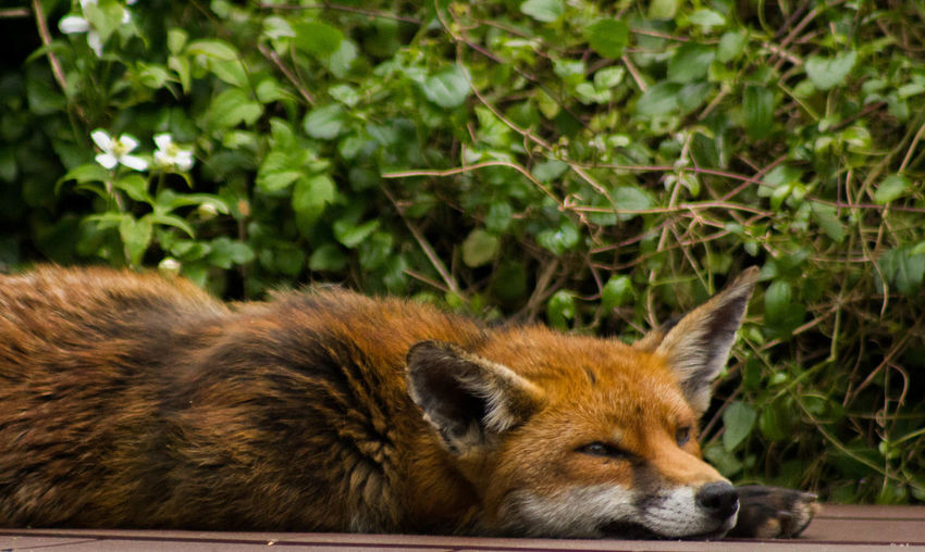 Animal Animal Head  Animal Themes Fox Foxy Mammal No People Outdoors Relaxation Resting Sleeping Sleeping Foxi Whisker