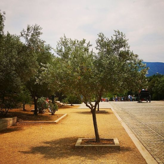 Olive Tree Olive Tree Landescape Tree_collection  Tree Nature On Your Doorstep Urban Spring Fever Urban Landscape Taking Photos Smartphonephotography Samsung Galaxy S6 Edge My City - Athens Dionisiou Ariopagitou Acropolis Greece