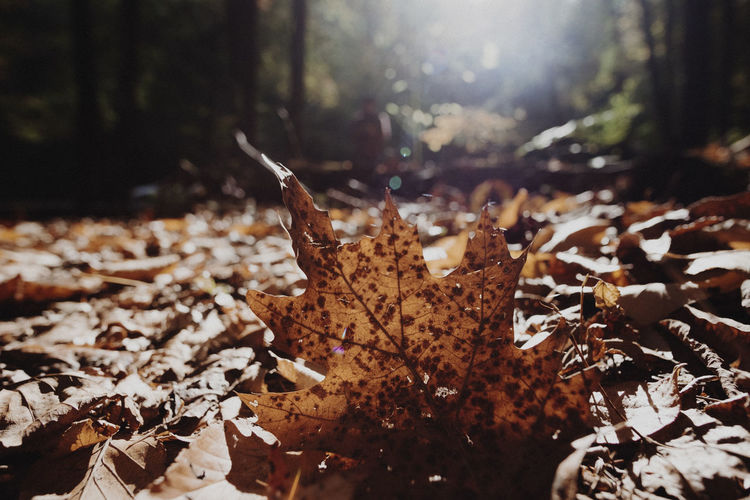 Close-up of fallen maple leaf in forest during autumn