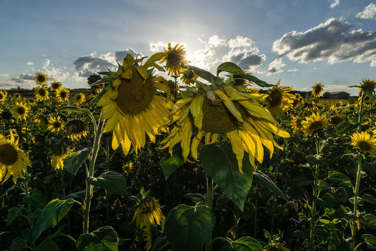 Sonnenblumenfeld am Abend Beauty In Nature Cloud - Sky Flower Green Color Low Angle View Outdoors Sonnenblume Sunflower Yellow