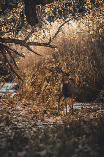 A mule deer buck next to a river in Capitol Reef National Park Mammal Animal Animal Themes One Animal Tree Land Plant Domestic Animals Vertebrate Nature Forest Deer Day Animal Wildlife Field Pets No People Standing Outdoors Herbivorous Autumn colors Mule Deer Travel Tourism Adventure