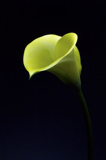 Yellow calla flower photographed in darkness with light concentrated on the tip of the flower Beautiful Calla Lily Copy Space Elegant Single Flower Yellow Flower Abstract Art Beauty In Nature Black Background Calla Close-up Delicate Detail Flower Flower Head Fragility Freshness Mysterious Nature No People Petal Stem Studio Shot Yellow Color