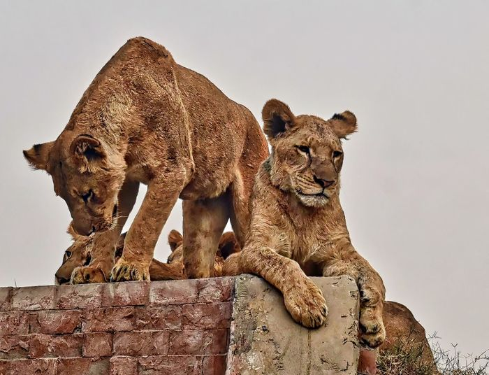 Animal Photography Animal Representation Animal Themes Bricks Day Into The Wild Lahore Safari Park Lions Nature No People Outdoors Pair Of Lions Adapted To The City