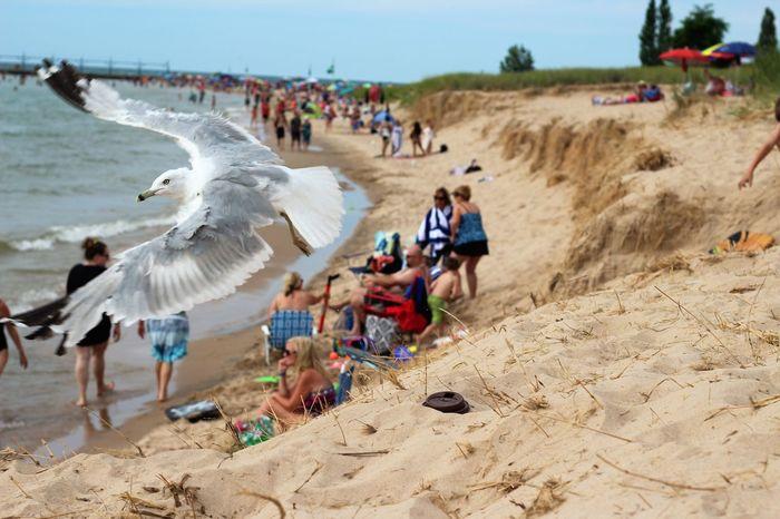 Animals In The Wild Beach Bird Birds Eye View Flying Michigan Non-urban Scene Sand Seagull Shore Sunlight Tourism Travel Vacations Picsartrefugees