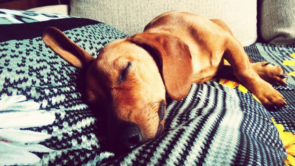 Dog Enjoying Life Sleepy Соня такса моя собака