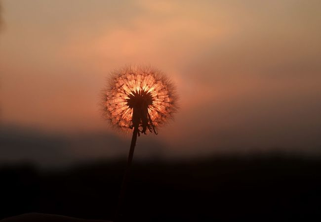 Dandelion in the sunset August Beauty In Nature Close-up Cloud Dandelion Flower Flower Head Light Nature No People Outdoors Red Silhouette Sky Summer Sun Sunset Sunsets