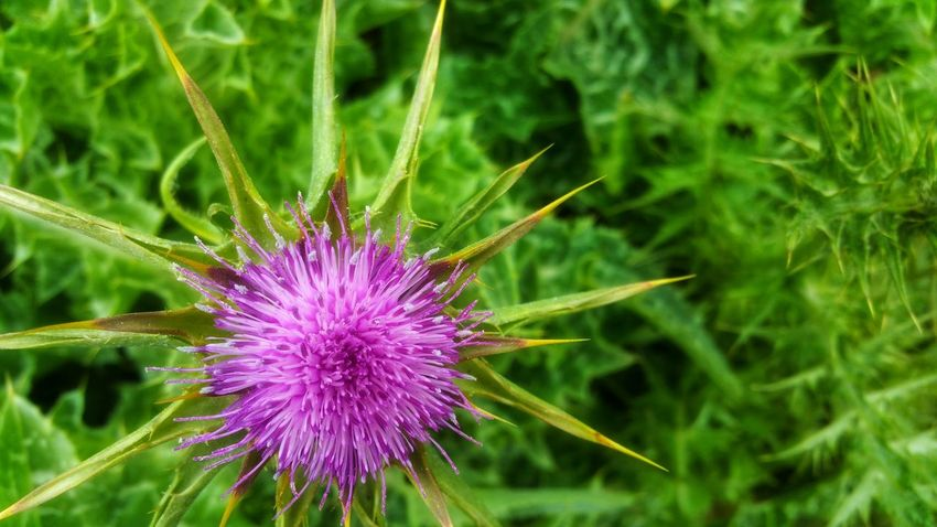 Wild Thistle -A Burst of glorious beauty Background Zen Meditation Pink Dark Pink Copy Space Burst Starburst Green Glow Timeless Moment Foreground Focus Pattern Countryside Flower Head Flower Thistle Purple Herbal Medicine Field Close-up Plant In Bloom Plant Life Flowering Plant Botany Wildflower Blooming Uncultivated