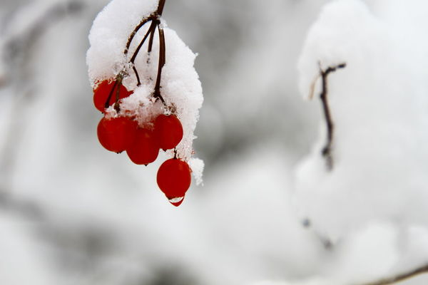 Beauty In Nature Close-up Cold Temperature Day Focus On Foreground Food And Drink Freshness Frozen Fruit Ice Nature No People Outdoors Red Rose Hip Snow Twig Weather White Color Winter