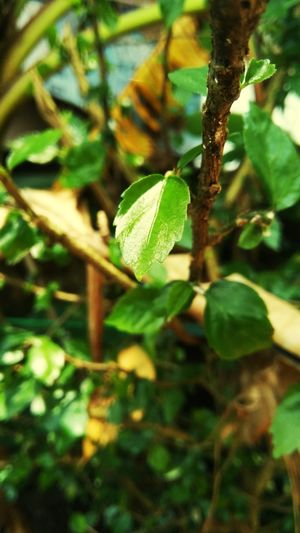 Leaf Green Color Growth Nature Plant Outdoors Day Close-up No People Fruit Beauty In Nature Tree Vine - Plant Freshness
