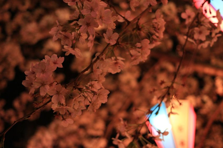 Night Nightphotography Sakura Cherry Blossoms Plant Growth Focus On Foreground Close-up Nature Flower Tree Outdoors Beauty In Nature