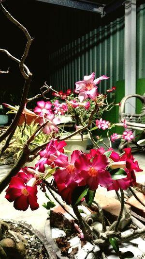 家裡的沙漠玫瑰開得很美 沙漠玫瑰 玫瑰 花 Taking Photos Desertrose