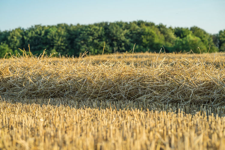 A harvested wheat field in front of corn field. scene on a sunny july evening.