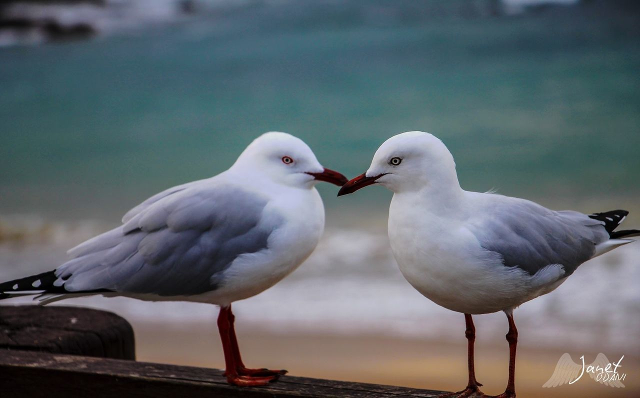 bird, animal themes, animal, animal wildlife, group of animals, animals in the wild, two animals, vertebrate, seagull, focus on foreground, day, perching, no people, nature, close-up, outdoors, white color, love, sea, togetherness