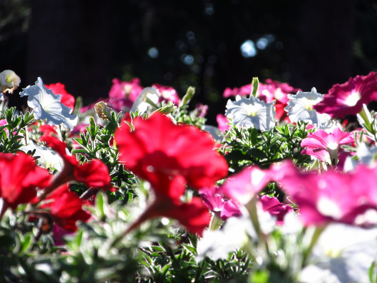 Close-Up Of Petunias Growing On Field