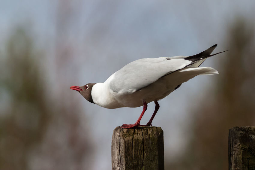 Black-headed gull (Larus ridibundus) calling. Black-headed Gull Calling Finland Migratory Bird Perspectives On Nature Animal Themes Animal Wildlife Animals In The Wild Bird Close-up Day Focus On Foreground Nature No People One Animal Outdoors Perching Red Color Screaming Spring Migration Tail Up Wood - Material Wooden Post