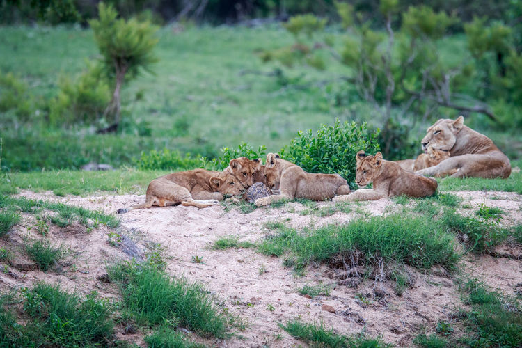 Lion cubs resting on field