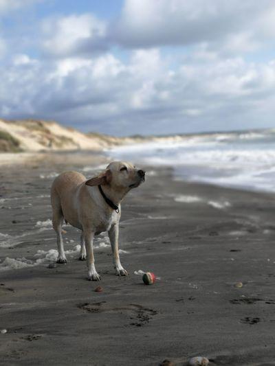 Dog Beach Animal Sea Sand Outdoors Cloud - Sky No People Nature Water Sky Lotte Beachtime Retriever Labrador Labrador Retriever Dog Photography Beach Babe Wet Beach Dog