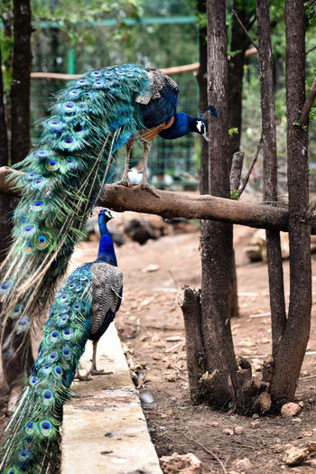 Animal Crest Animal Themes Beauty In Nature Bird Blue Close-up Day Domestic Animals Fanned Out Feather  Lijiang Lion Hill Nature No People Outdoors Peacock Peacock Feather Perching Tree Yunnan