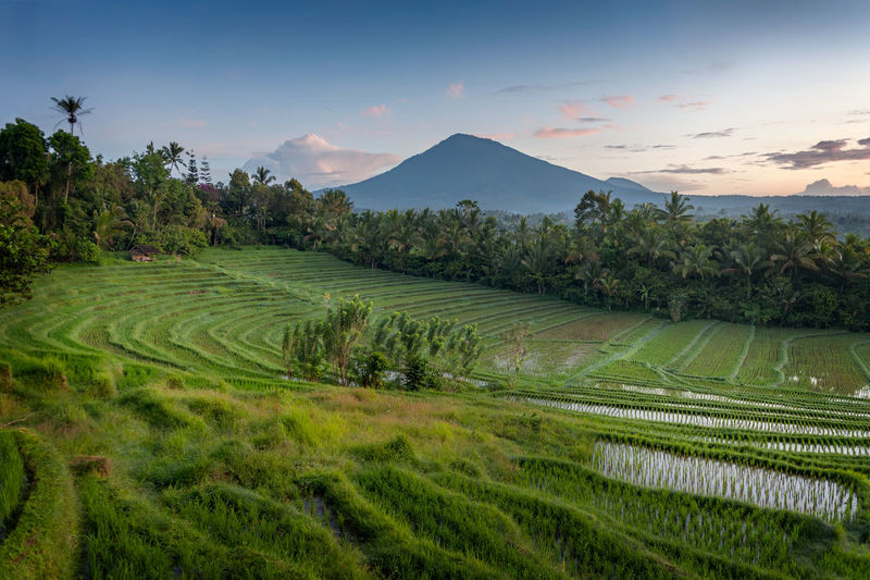 Bali, Indonesia. As the sun rises over the rice fields in the village of Belimbing, the mountain, Batukaru, looms large in the background. Agriculture Bali Batukaru Beauty In Nature Field Growth INDONESIA Indonesia_allshots Indonesia_photography Landscape Mountain Nature No People Outdoors Palm Tree Plant Rice Rice Field Rice Paddy Rice Paddy Rice Terraces Ricefield Rural Scene Sunrise Terraced Field