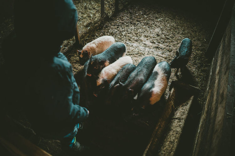 Domestic Animals Farm Farm Life High Angle View Kid Feeding Piglets Kid Having Fun Piglet Eating Piglet 🐷🐽 Piglets Piglets Feeding