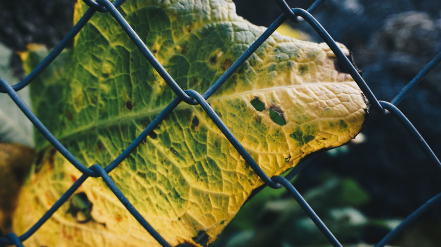 Leafe vs fence Animal Themes Autumn Behind Behindthefence Chainlink Fence Check This Out Close-up Day Detail EyeEm Magazine Fall Fence Focus On Foreground Fragility Gray Fend Green And Yellow  Leafe Leaves Nature Nature Nature VS Man No People Outdoors Pattern Protection