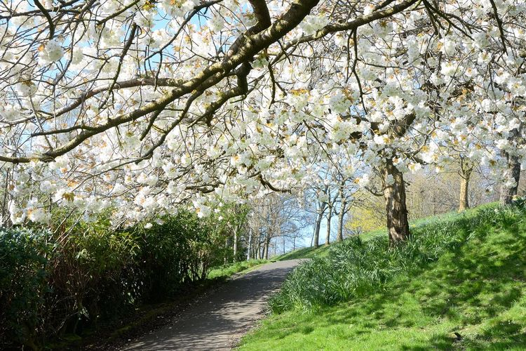 Spring blossums Plant Tree Beauty In Nature Growth Flower Springtime Blossom Flowering Plant Nature Freshness Fragility Road Tranquility The Way Forward Tranquil Scene No People Branch Day Direction Scenics - Nature Cherry Blossom Outdoors Cherry Tree Treelined Spring Springtime Blossoms Optimism