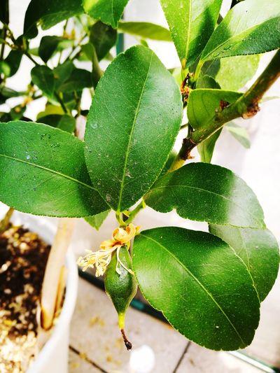 growing Lemon Leaf Leaves Plants Vegetable Beauty In Nature Lemon Lemon Tree Small Lemon Tree Leaves Limone Close-up Plant Green Color Leaf Vein