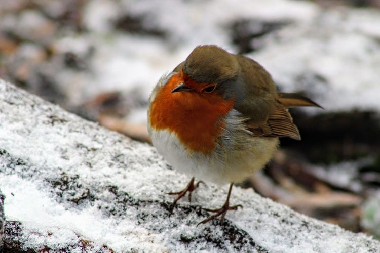 robin Robin Redbreast Robin Snow Robin In Snow Christmas Robin EyeEm Selects Bird Winter Animal Wildlife Snow One Animal Animals In The Wild Cold Temperature Animal Themes Beauty In Nature No People Nature Outdoors