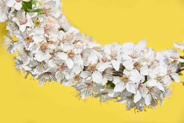 Close up branch full of white cherry blossom over yellow background Abundance Flowering Plant Flower Yellow Vulnerability  Yellow Background Fragility Freshness Plant Inflorescence Beauty In Nature Petal Flower Head Close-up Growth Colored Background No People Blossom Nature Springtime Bright Cherry Blossom Branch Copy Space Season  In Bloom Blooming Stamen Pollen