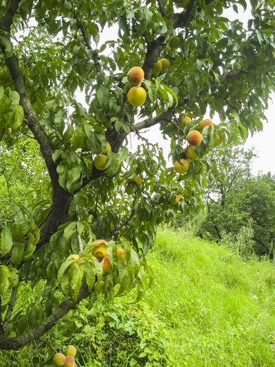 Peaches Peach