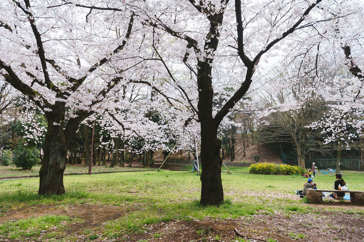 Akatsuka Park, Tokyo. Sakura Season 2016. Beauty In Nature Bench Branch Day Flower Grass Growth Leisure Activity Lifestyles Men Nature Outdoors Park Park - Man Made Space Person Sakura Sitting Transportation Tree Tree Trunk