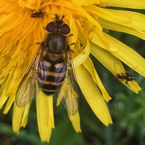 Close-up of insect pollinating on yellow flower