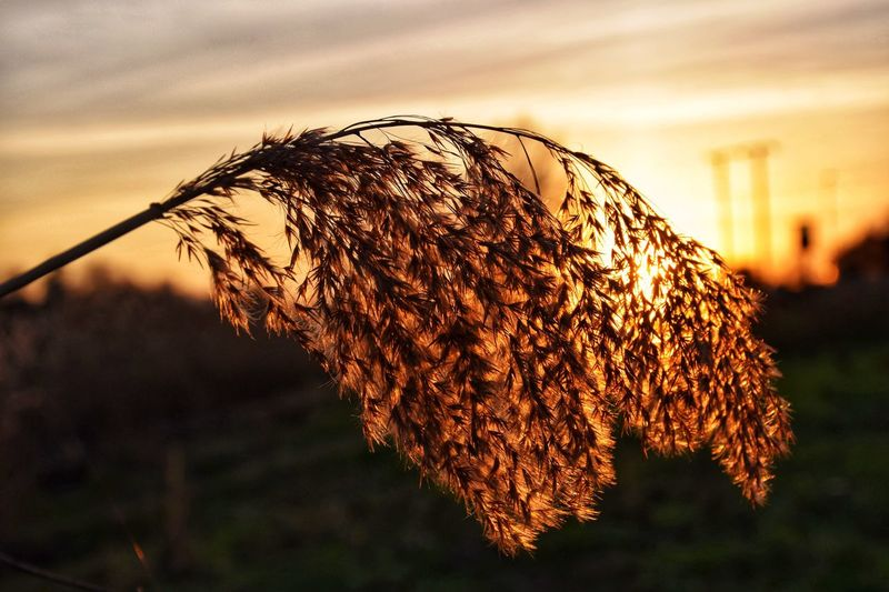 Dried plants against sky during sunset